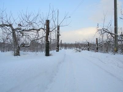 冬のりんご畑