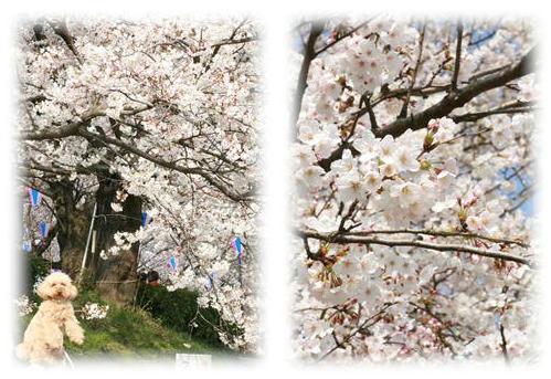 Sakuraぷりん