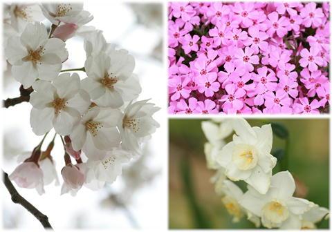 桜 水仙 芝桜