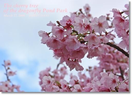 sakura_20090401162712.jpg