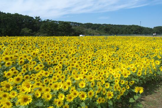 himawari014.jpg