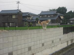 ブロック塀の上から吠えてるワンちゃん