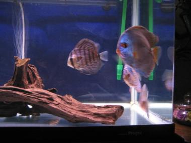 熱帯魚(ディスカス)