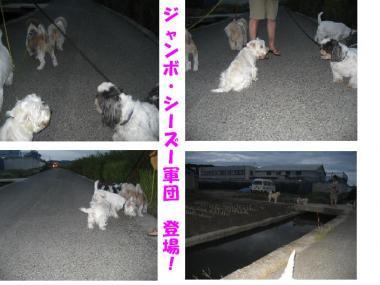 ジャンボ・シーズー犬軍団