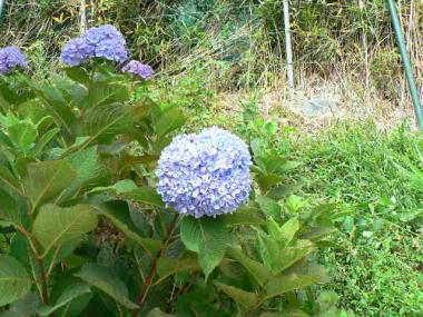 誇らしげに咲いていた紫陽花