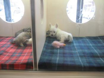 チベタンスパニエルの仔犬ちゃん