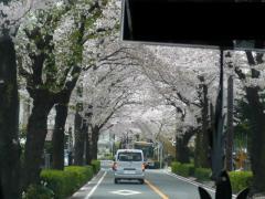 0414byouinnsakura.jpg