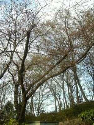 つぼみ桜1