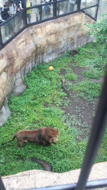 ライオン①