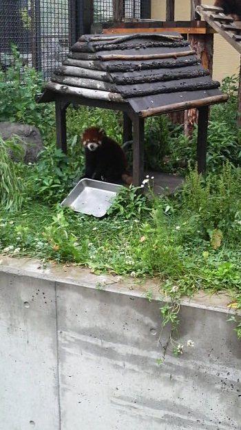 20090710レッサーパンダ