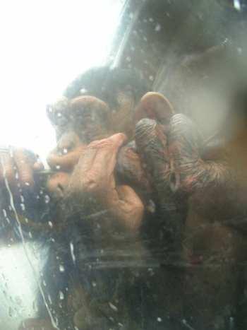 ちびっこチンパンジー