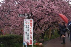 河津桜その1