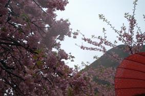 河津桜その5