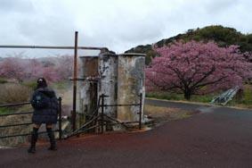 南伊豆桜その1