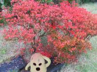 ドウダンツツジ の 紅葉