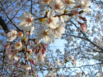 桜を見る度にニッポン人だと思う私です