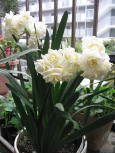 八重の房咲き水仙