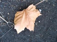 プラタナスの枯葉