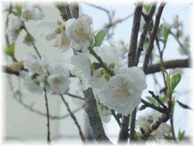 寒白 花桃