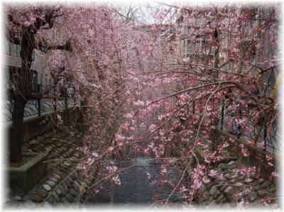 二ヶ領用水のしだれ桜