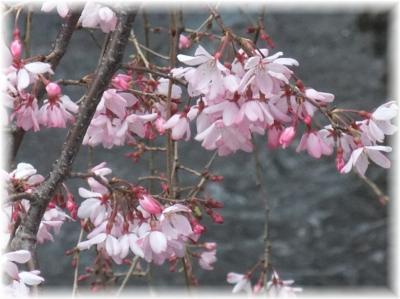 二ヶ領用水のしだれ桜b