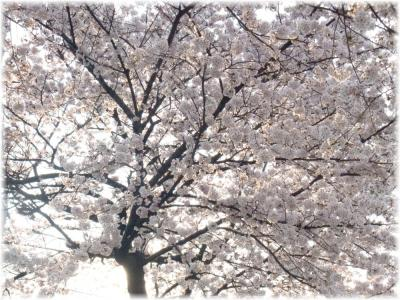 満開の桜b