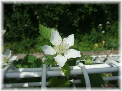 ボイセンベリーの花満開