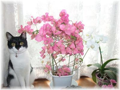 猫とブーゲンビリアとミニコチョウラン