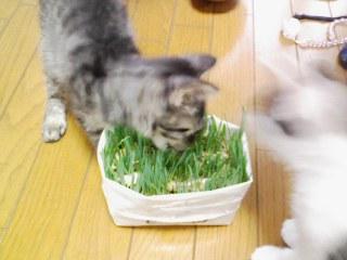 猫草食べる