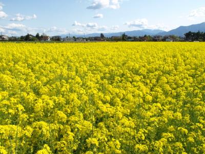 安曇野スイス村前の菜の花畑