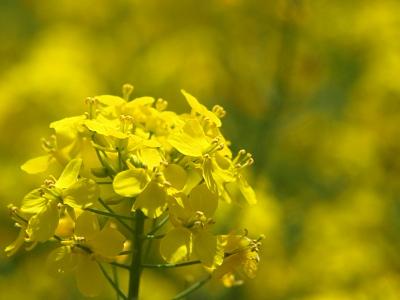 菜の花公園@飯山