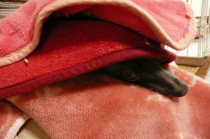 ステラの毛布包み