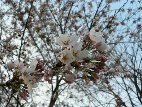 2009-4-16開花2