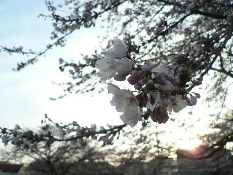 2009-4-16開花