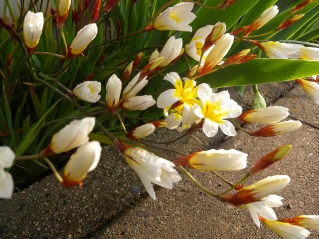 路地の花3