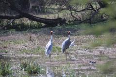 keo-sarus crane