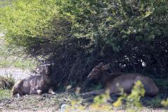 keo-antelope.jpg