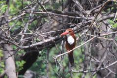 keo-kingfisher.jpg