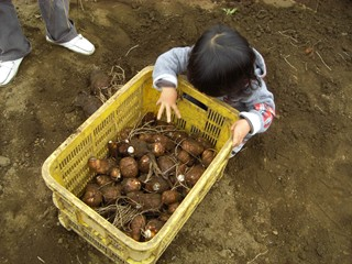 20081103芋掘り3.JPG
