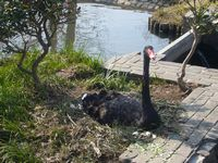 千波湖 黒鳥3