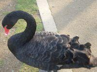 千波湖 黒鳥2