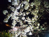 千鳥ヶ淵の夜桜3