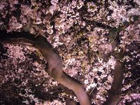 千鳥ヶ淵の夜桜2