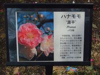 新宿御苑 ハマモモ
