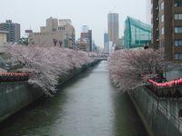 目黒川沿い 桜並木