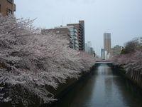 目黒川沿い 桜