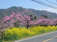 山梨 桃花 菜の花