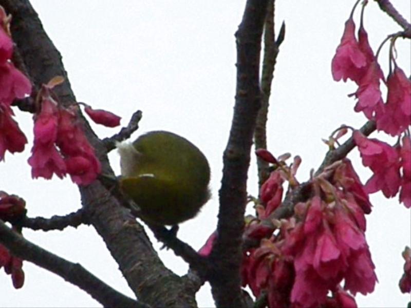 春の便り メジロ