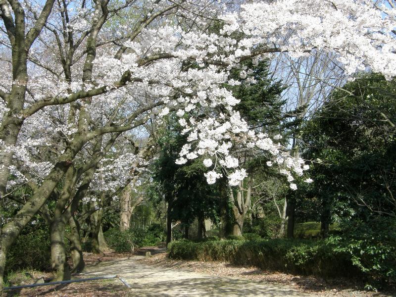 東温市 県森交流センター 桜