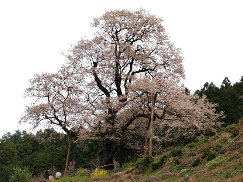 高知県吾川郡 ひょうたん桜